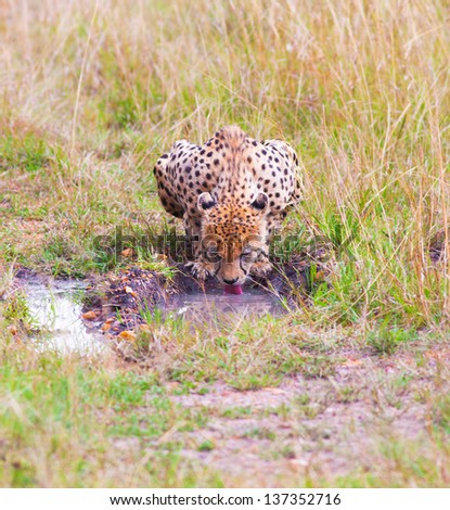 Female leopard drinking, Africa - stock photo