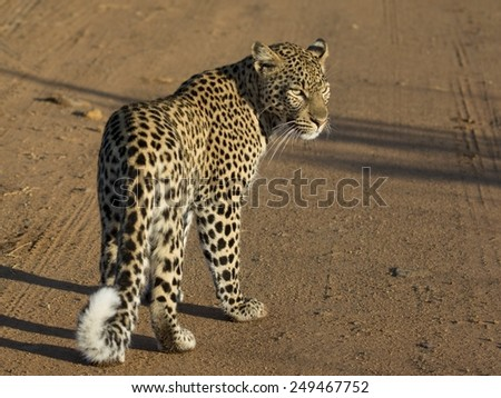 Female leopard, full body, from the back with head turned. Plain gravel background. Black spots, curled tail and face are clear.  - stock photo