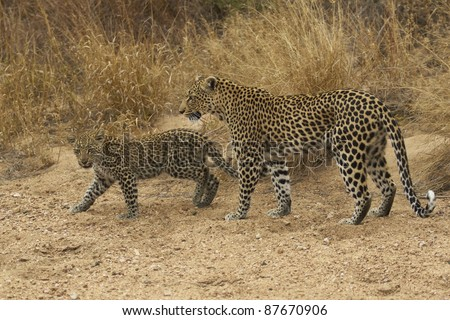 Female leopard (Panthera pardus) and cub walking along the sandy bed of a dried up seasonal river in Kruger National Park, South Africa