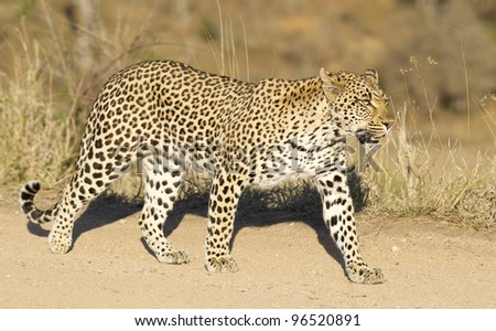 Female Leopard (Panthera pardus), Kruger Park, South Africa - stock photo