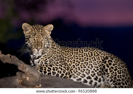Female Leopard (Panthera pardus) on a tree stump at sunset, South Africa