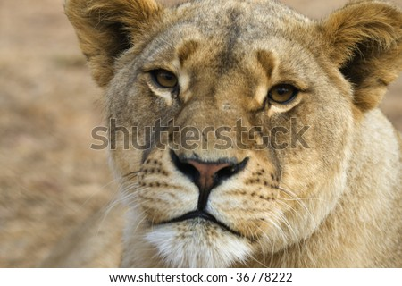 Female lion.