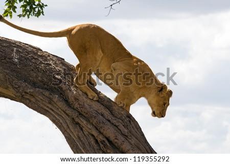 Female lion climbing down a tree in Masai Mara, Kenya - stock photo