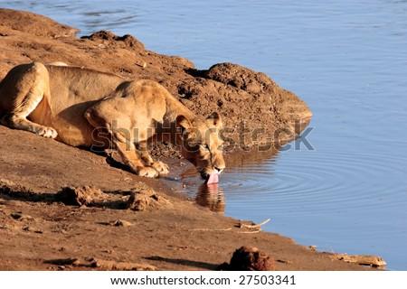 Female lion drinks from lake in Kenya - stock photo