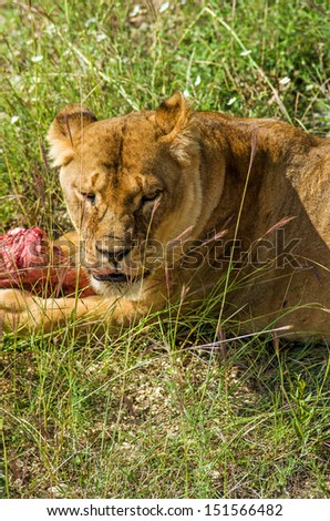 Female lion eat piece of raw meat