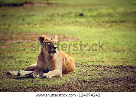 Female lion lying on savannah in Ngorongoro crater in Tanzania, Africa