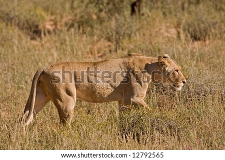 Female lion walking in tall grass; Panthera leo; Kalahari desert; South Africa