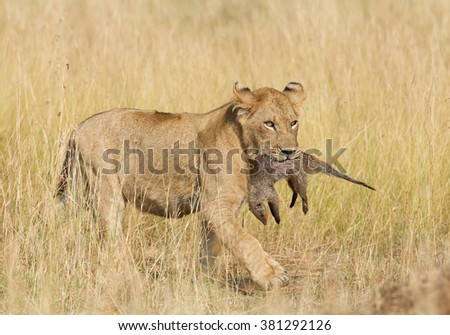 Female lion with mongoose kill, in yellow dry grass, Masai Mara, Kenya, Africa - stock photo