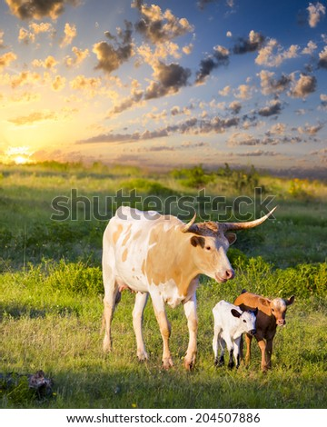 Female Longhorn cow grazing in a Texas pasture at sunrise with newborn calves - stock photo