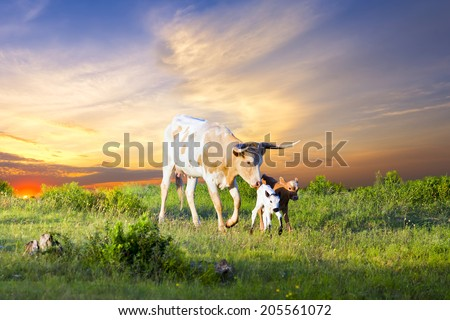 Female Longhorn cow grazing in a Texas pasture at sunrise with two newborn calves - stock photo