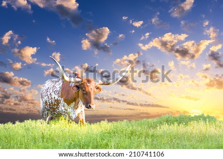 Female Longhorn cow  in a Texas pasture at sunrise - stock photo