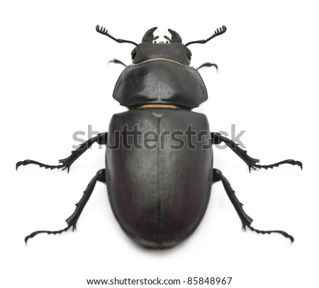 Female Lucanus cervus, the best-known species of stag beetle, in front of white background - stock photo