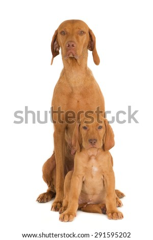 Female Magyar Vizsla dog with one of her puppies, isolated on white - stock photo