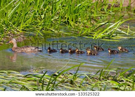 Female Mallard (Anas platyrhynchos) with ten ducklings swimming in a stream - stock photo