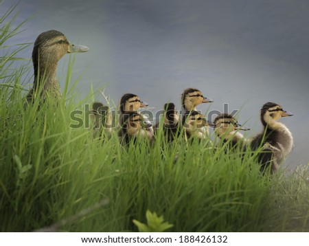 Female Mallard and ducklings - stock photo