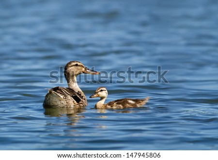 Female Mallard duck (Anas platyrhynchos) and her duckling swimming in the lake