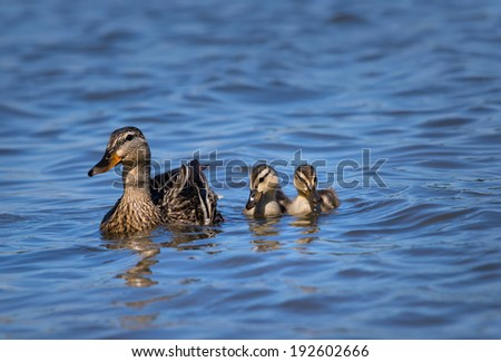 Female Mallard duck (Anas platyrhynchos) and two ducklings swimming in lake - stock photo