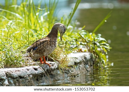 female mallard duck ( anas platyrhynchos ) relaxing on the lake shore , with added vignette - stock photo