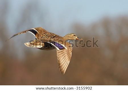 Female mallard duck in flight - stock photo