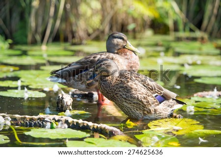 Female mallard Ducks swimming in water - stock photo