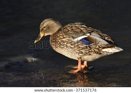 Female mallard in a lake in winter - stock photo