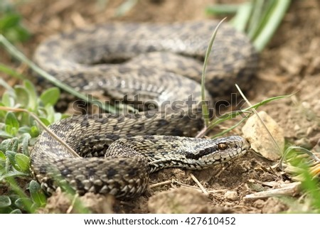 female meadow viper in natural habitat ( Vipera ursinii rakosiensis, the rarest snake in Europe ) - stock photo