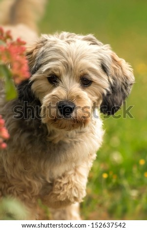 female mix breed poodle