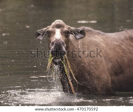 Female Moose in the lake munching on grass, dripping wet
