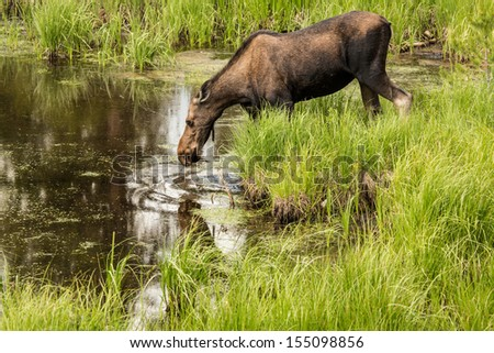 Female Moose in the tall grass in Colorado - stock photo