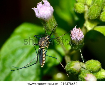 female mosquito - stock photo