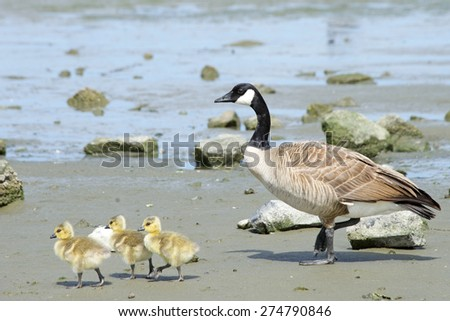 Female mother Canadian goose walking with her young goslings, showing them how to find food, goslings following mom