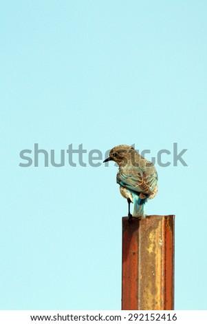 Female Mountain Bluebird in the Colorado Rockies - stock photo
