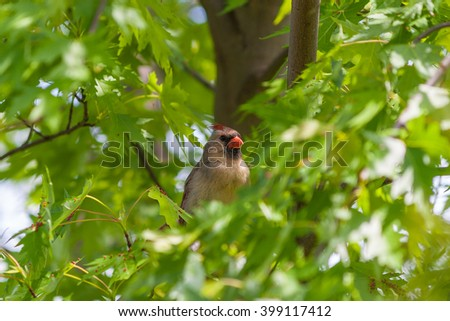 Female Northern Cardinal bird (Cardinalis cardinalis) hiding in lush greenery of maple tree. Selective focus. - stock photo