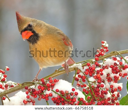 Female Northern Cardinal (Cardinalis cardinalis).  Curious female winter Cardinal on a snowy branch loaded with bright red berries. - stock photo