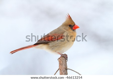 Female Northern Cardinal (cardinalis cardinalis) on a Spruce branch with snow in the background - stock photo