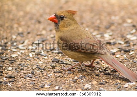 Female Northern Cardinal (Cardinalis cardinalis) on neighborhood patio with black oil sunflower seeds;  Selective focus and shallow dof: - stock photo