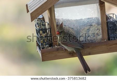 Female Northern Cardinal (Cardinalis cardinalis) on seed feeder.  Selective focus with shallow dof. - stock photo