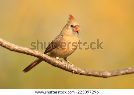 Female Northern Cardinal (cardinalis) on a branch in autumn