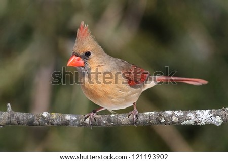 Female Northern Cardinal (cardinalis) on a branch in winter