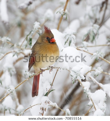 Female Northern Cardinal on branch with snow