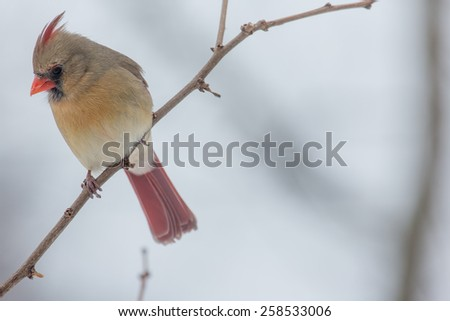 Female Northern Cardinal perched on a limb in Lexington, Kentucky during Winter Storm Thor.