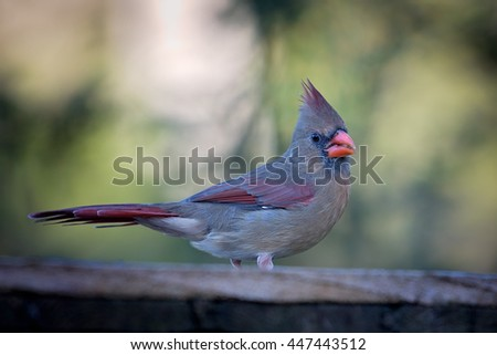 Female Northern Cardinal sits on a fence - stock photo