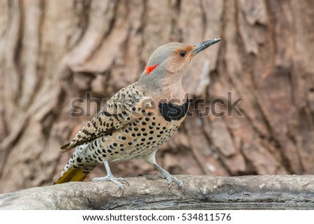 Female northern flicker at a bird bath.