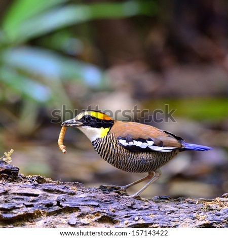 Female of Banded Pitta collecting worm for its chicks