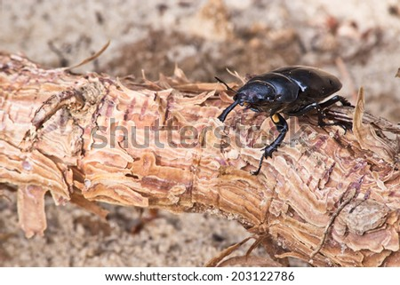female of beetle at the root of pine on a background of sand - stock photo