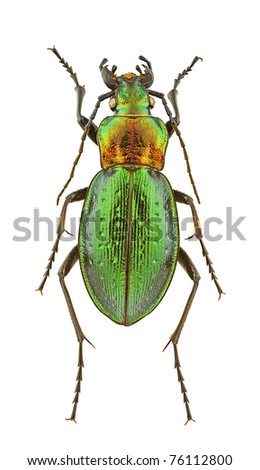 Female of Carabus obsoletus isolated on a white background. - stock photo
