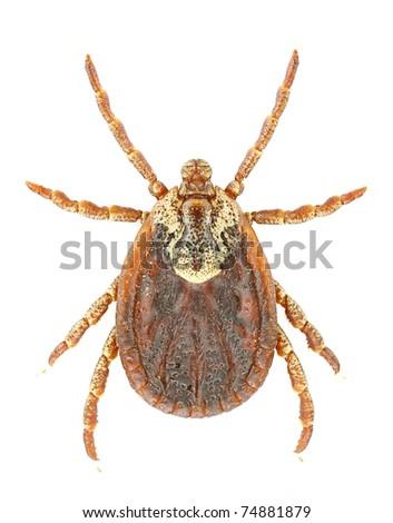 Female of Dermacentor marginatus isolated on a white background. - stock photo