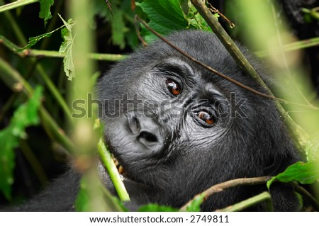 Female of eastern mountain gorilla in tropical forest of Uganda - stock photo