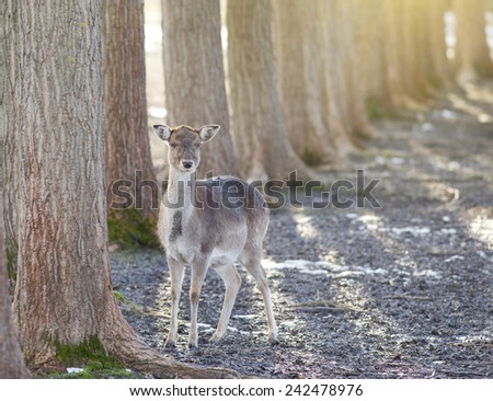 Female of fallow deer standing beside tree and looking at camera - stock photo
