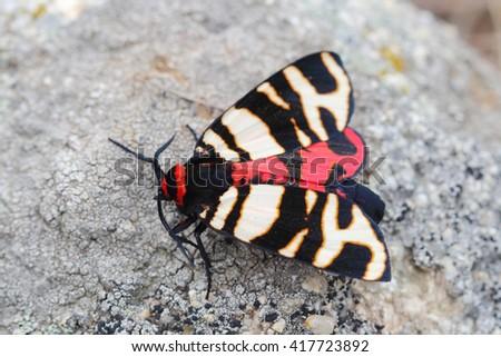 Female of Hebe Tiger Moth (Arctia festiva). Closeup - stock photo